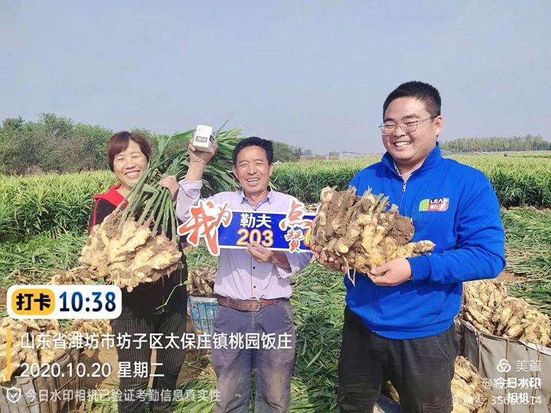 用了三遍203,大姜產量不一般!——濰坊魏大哥大姜增產實錄