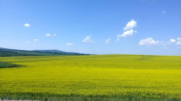 """""""醉美""""油菜花观赏季已来,国产植物油的半壁江山"""